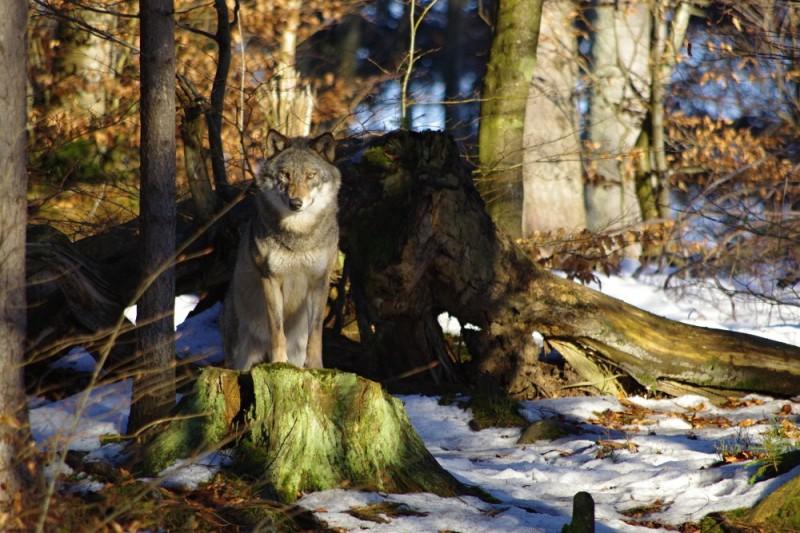 Vlci a rysi v Národním parku Bavorský les