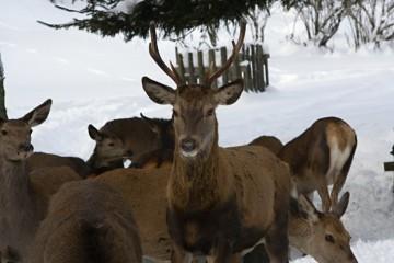Zimní pozorování jelenů v Krkonoších