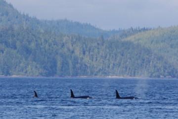 Za kosatkami na Vancouver Island