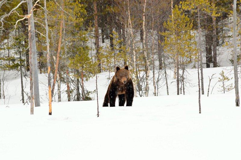 Finská cesta za medvědy
