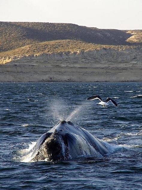 Velryba jižní z několika metrů