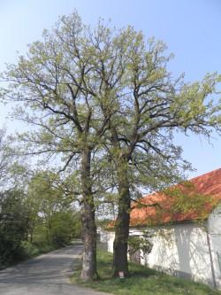2 duby na Točné, foto: Aleš Rudl