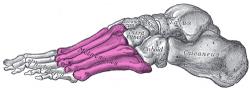 Anatomická stavba nohy<br>Zdroj: www.sk.wikipedia.org