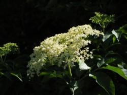 Květ bezu černého (Sambucus nigra)<br>Zdroj: www.pixabay.com; Autor: Hans